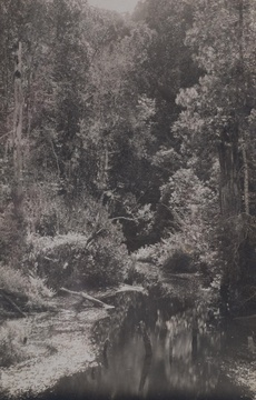 Knysna forest, historic image