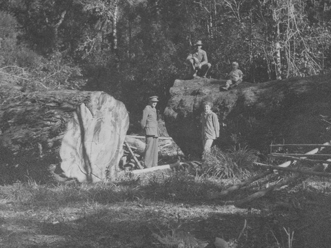 A felled yellowwood tree in the Knysna Forests, early 20th Century
